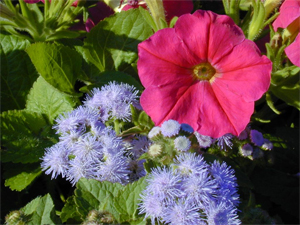 petunia and ageratum