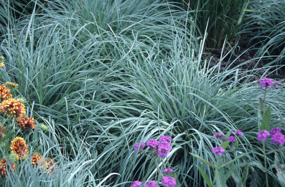 shade tolerant ornamental grasses and grasslike plants  beyond, Natural flower