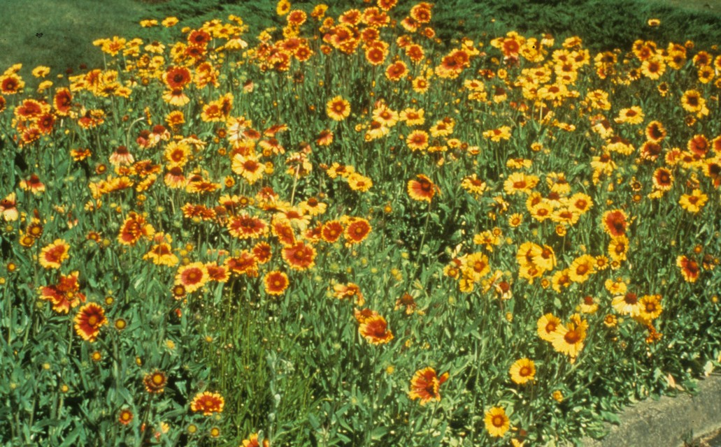 Perennials for sunny dry sites beyond impatiens and petunias u blanket flower mightylinksfo
