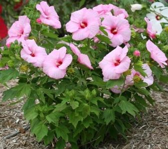 Perennials Tolerant Of Moist To Wet Soil Beyond Impatiens And