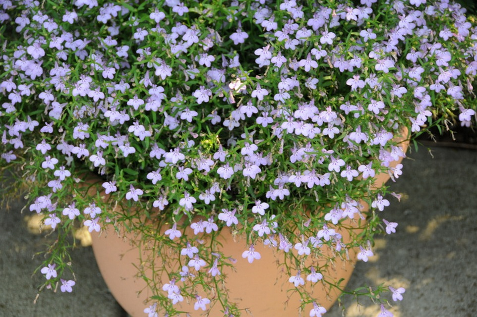Annuals For Part To Full Shade Beyond Impatiens And