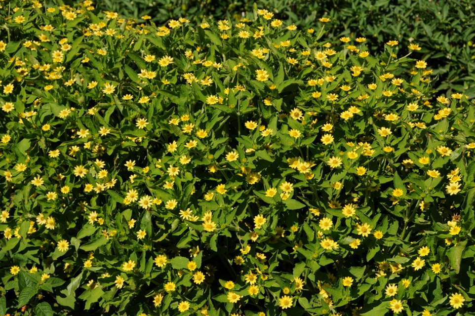 Annuals for sunny dry sites beyond impatiens and petunias u of medallion flower mightylinksfo
