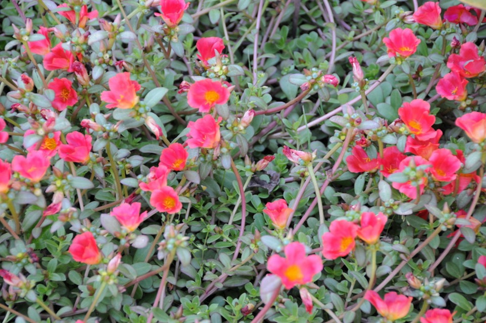 Annuals for sunny dry sites beyond impatiens and petunias u of purslane mightylinksfo
