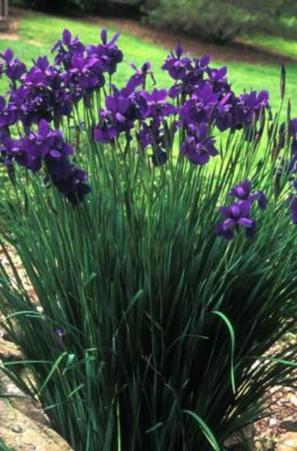 Perennials tolerant of moist to wet soil beyond impatiens and siberian iris mightylinksfo
