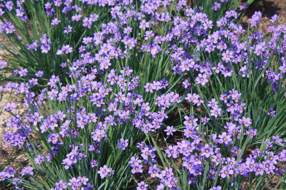 Perennials for shade beyond impatiens and petunias u of i extension blue eyed grass workwithnaturefo
