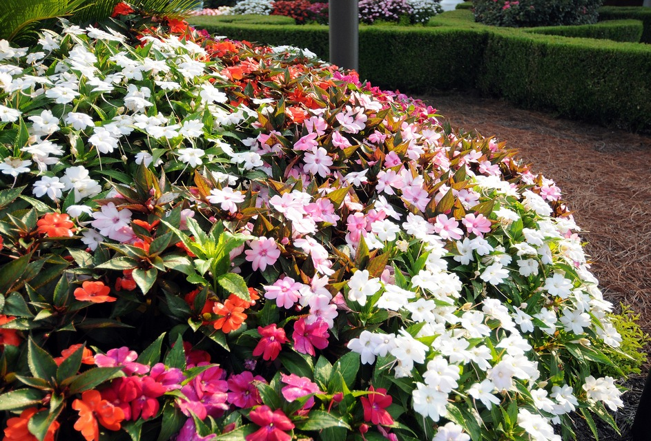annuals for part to full shade  beyond impatiens and petunias  u, Natural flower