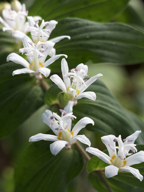 Perennials for shade beyond impatiens and petunias u of i extension toad lily mightylinksfo