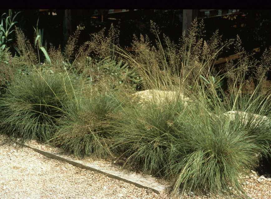 Annual Ornamental Grasses Shade tolerant ornamental grasses and grass like plants beyond tufted hair grass workwithnaturefo