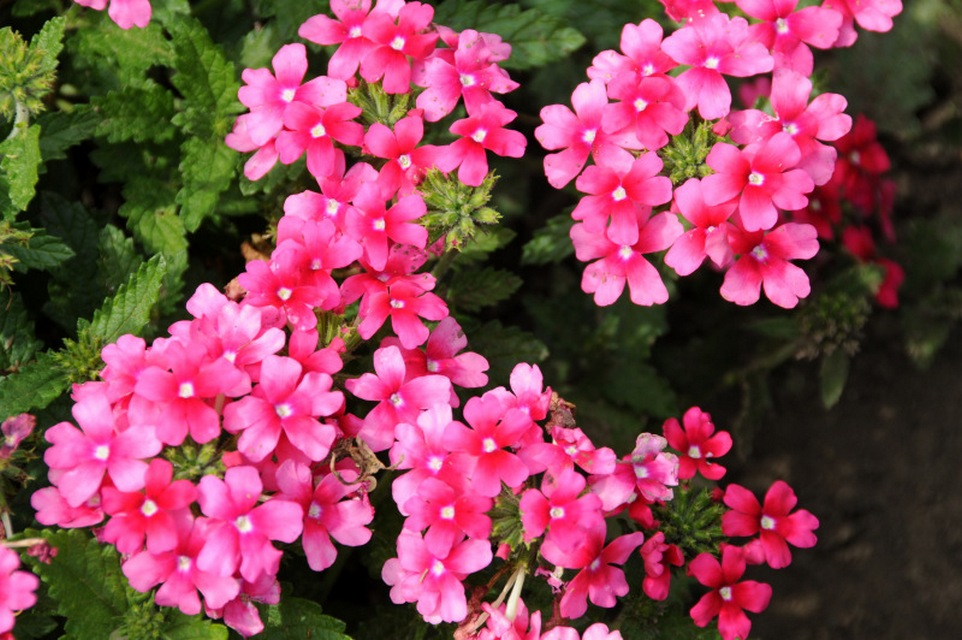 Annuals For Sunny Dry Sites Beyond Impatiens And Petunias U Of