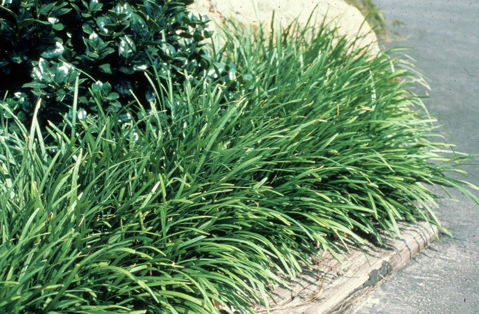Creeping lily turf ground cover pictures to pin on for Tall ornamental grasses for shaded areas