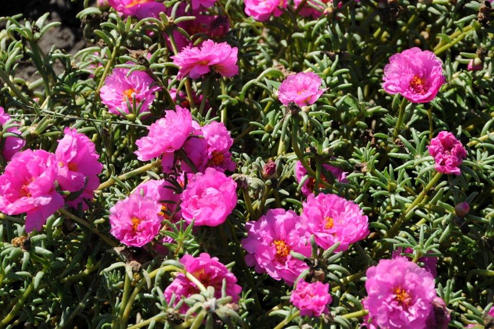 Anuales para lugares soleados y secos | Más Allá de las Alegrías del ...