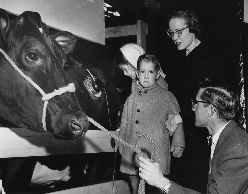 I DON'T WANNA LOOK: Jeffrey Lewis, 2.5 years old, seems reluctant to look at Sadie, the famous University of Illinois dairy cow that has a 'hole in her side.' His sister, five-year old Diane, feels no qualms as she inspects Sadie's fistula at the Farm and Home Festival. Jeff's mother, Mrs. Walter Lewis, explains to him that the fistula enables dairy scientists such as Bob Cook, right, to learn more about Sadie's digestive processes. And the fistula doesn't bother Sadie at all.