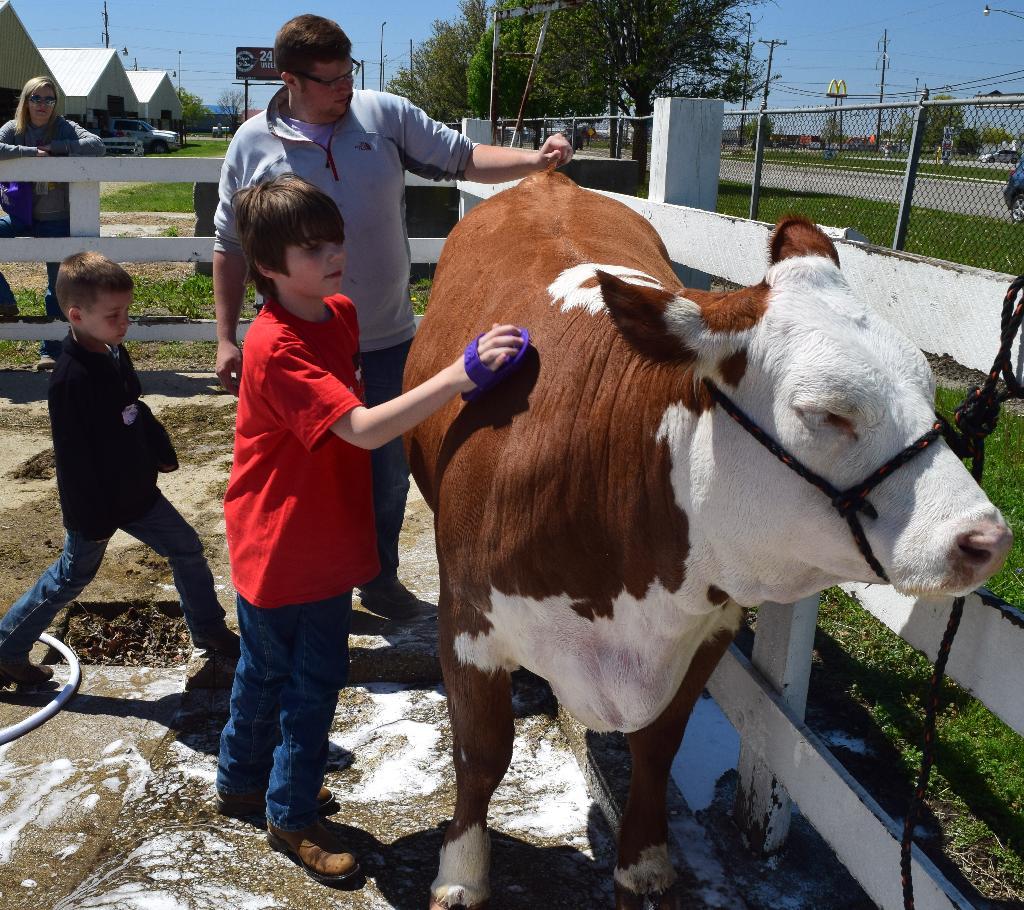 Beef grooming practice