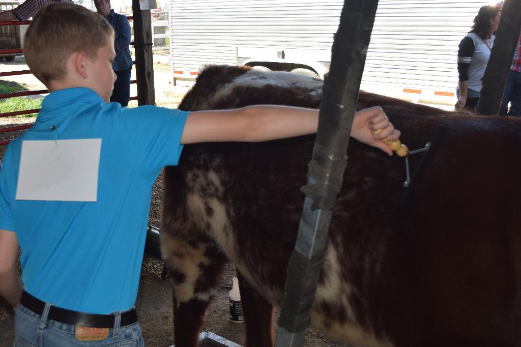 Practice in combing/grooming cattle