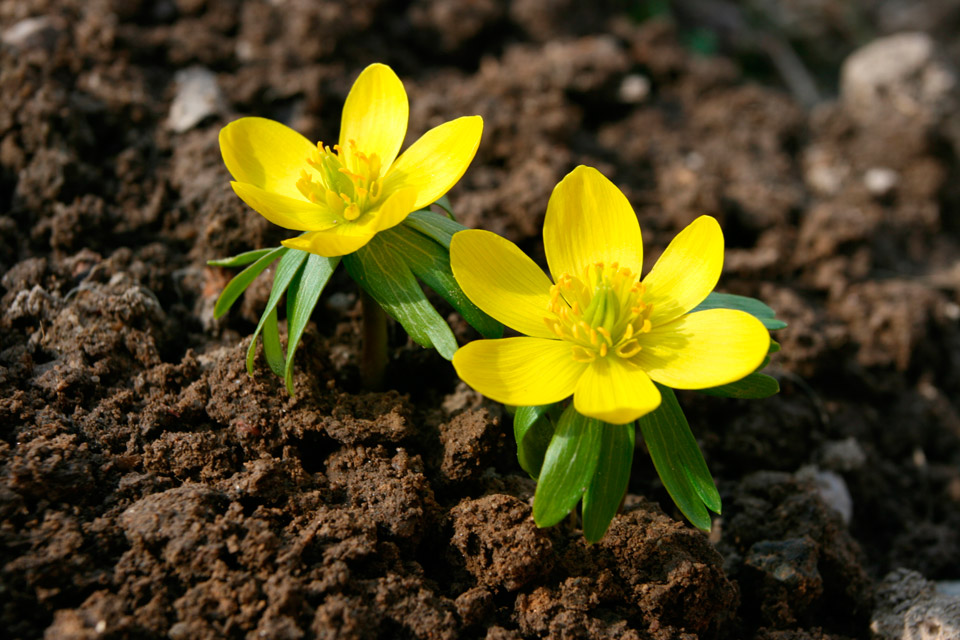 Spring flowering bulbs bulbs more university of illinois extension aconite mightylinksfo Image collections