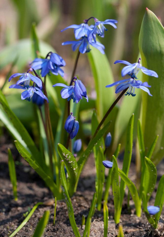 Spring Flowering Bulbs Bulbs More University Of Illinois
