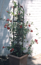 Growing Vines In Containers