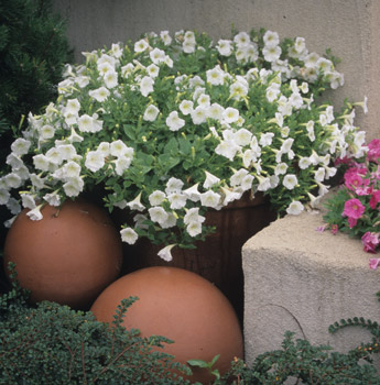 Lush Pot of White Petunias Photo