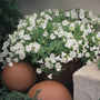 Lush Pot of White Petunias