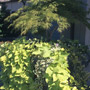 Japanese Maple with Vines