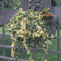Variegated Vines for Interest