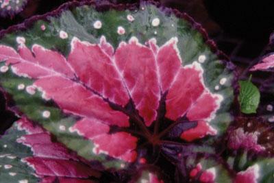 http://urbanext.illinois.edu/foliage_sp/image/rexbegonia_l.jpg