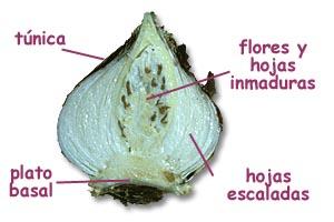 Bulbo reproduccion asexual plantas