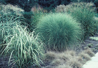 Understanding ornamental grasses ornamental grasses for Blue ornamental grass varieties