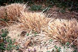 Maintenance of ornamental grasses ornamental grasses university winter protection and spring clean up workwithnaturefo