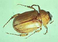 Photo caption: The masked chafer is the adult beetle which lays eggs becoming the annual white grub in lawns.