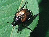 Photo caption: Japanese beetles, which have been increasing in Illinois, feed on many plants as adults and lay eggs in lawn areas which may become a grub problem later in the season.