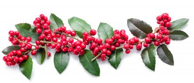 bigstock-European-Holly-Ilex-smaller