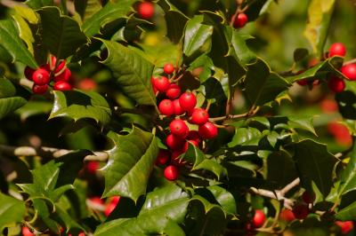 bigstock-Holly-Berries-smaller