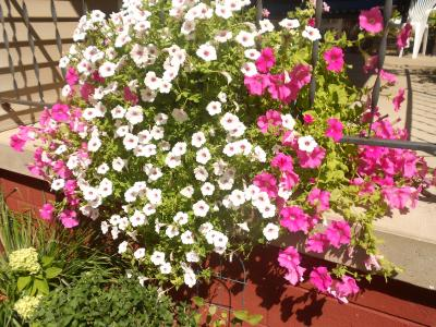Cascading baskets of petunias can be seen at the home of August 2012 Bright Spot Award winners Lewis and Jennifer Kling, 657 E Elm St, Canton.