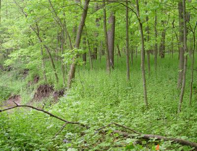 The covering on the forest floor on the Bartell streambank in Peoria is almost entirely made up of garlic mustard.  Photo credit:  Adam Davis