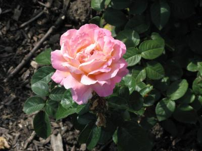 Chicago Peace Rose at Cantigny Park 9-08