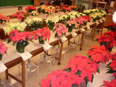 JP CDL 12-12-09 Poinsettias numbered for judging at U of I  s Winter Wonderland Poinsettia Open House