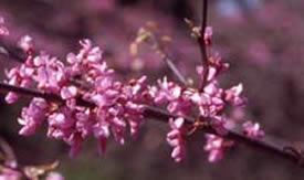 JP CDL 2-6-10 Redbud flowers