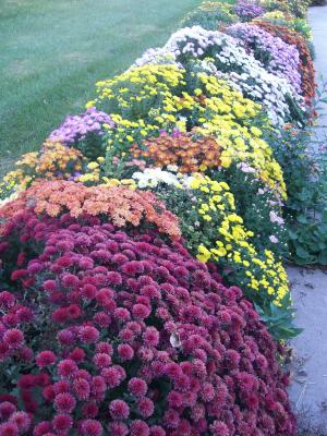 This beautiful display of fall blooming chrysanthemums at the home of Ron and Joan Bankes, 826 Taylor Ct. in Canton is the October 2010 recipient of the
