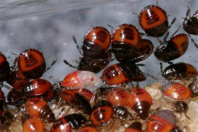 Burrower bug nymphs