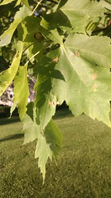 anthracnose on red maple