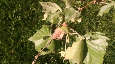 anthracnose on sycamore