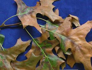Bacterial leaf scorch on pin oak