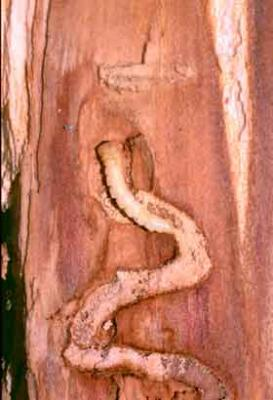Larva and tunneling of the emerald ash borer