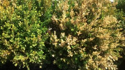 Freeze damage on boxwood
