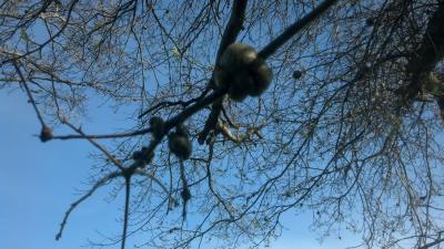 galls on shingle oak
