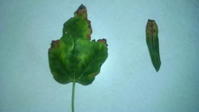 leafhopper damage on red maple and burning bush