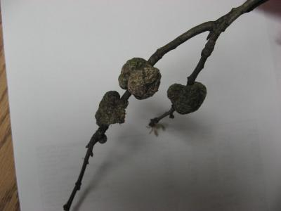 gall on oak twig