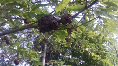 oak galls