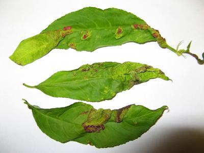 peach leaf curl